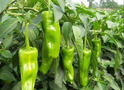 新鲜优质青椒